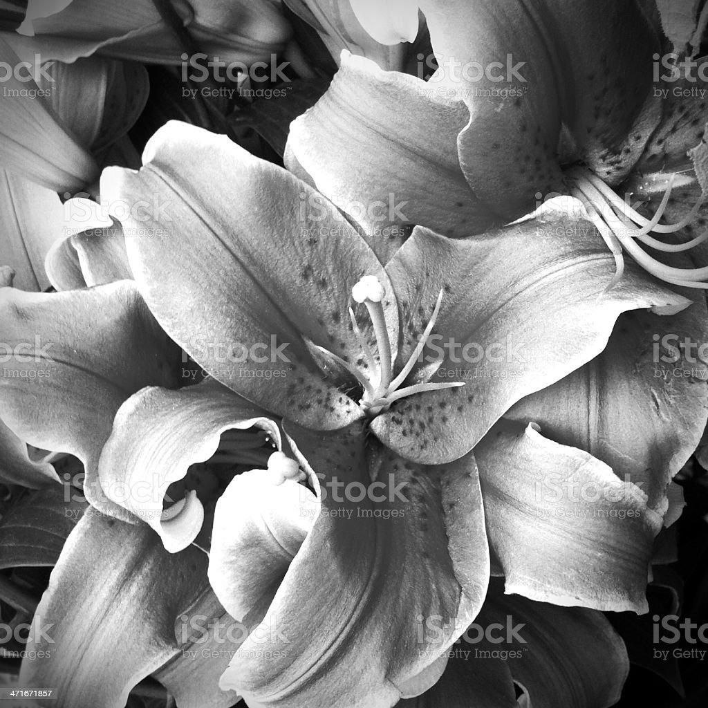 Stargazer lilies stock photo