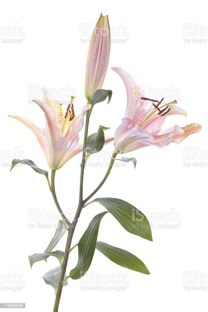 Stargazer lily flower over white stock photo
