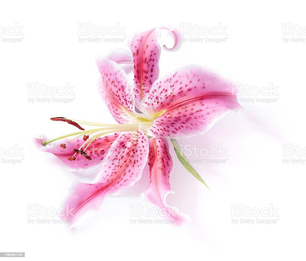 Stargazer lily isolated stock photo