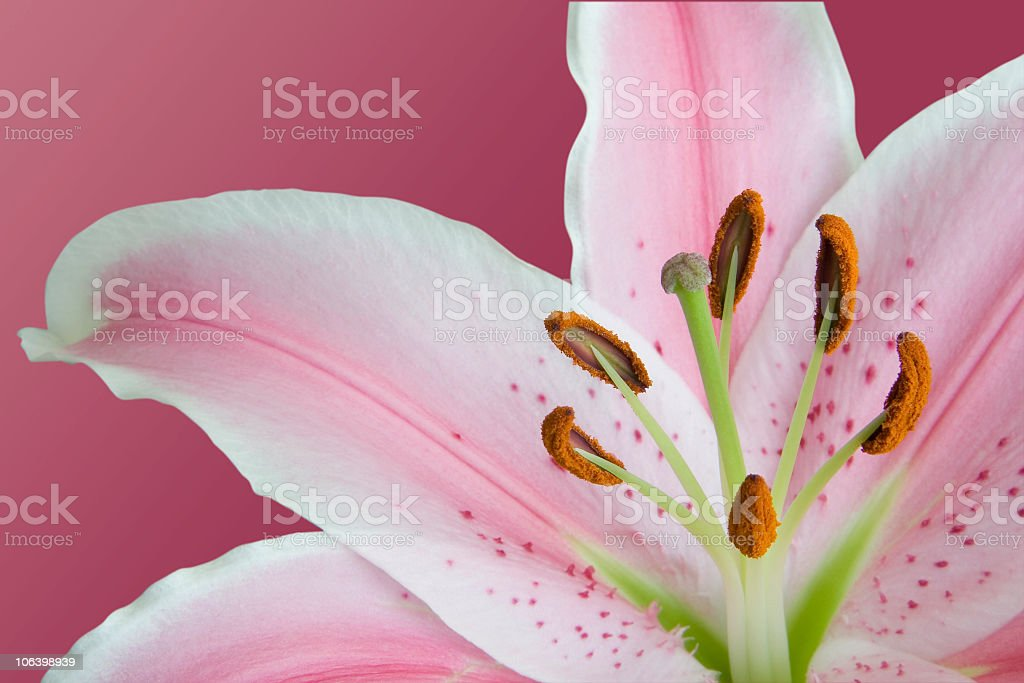 Stargazer Lily royalty-free stock photo