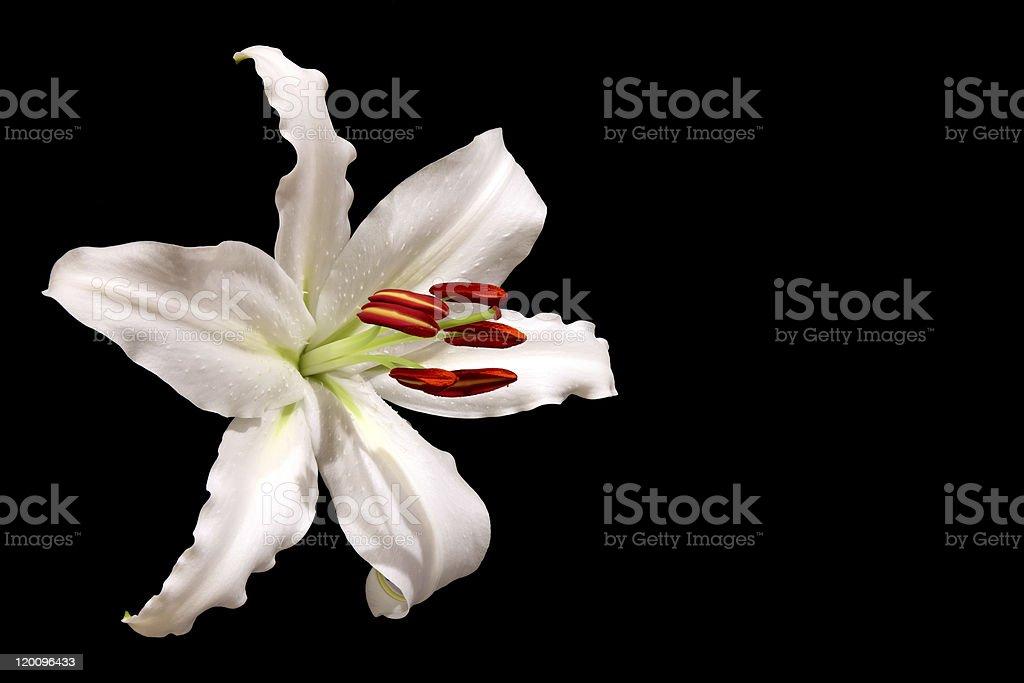 Stargazer Lily royalty-free stock photo