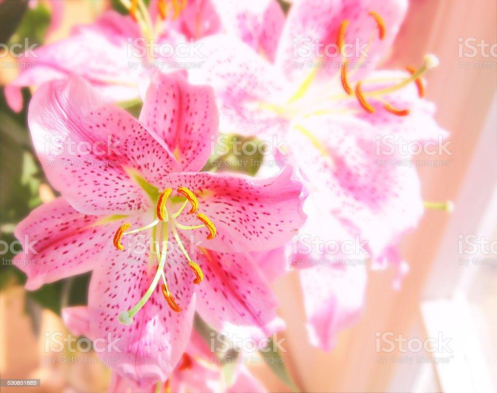 stargazer lily stock photo