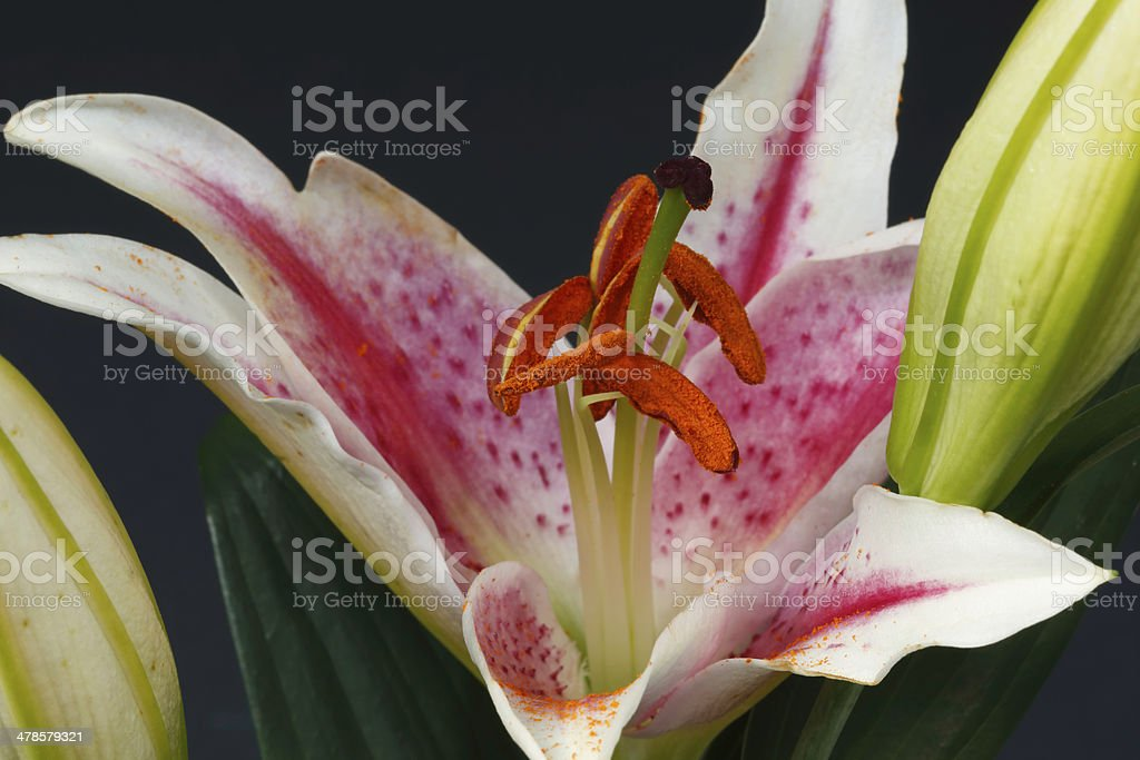 Stargazer Lily. Single Flower. stock photo