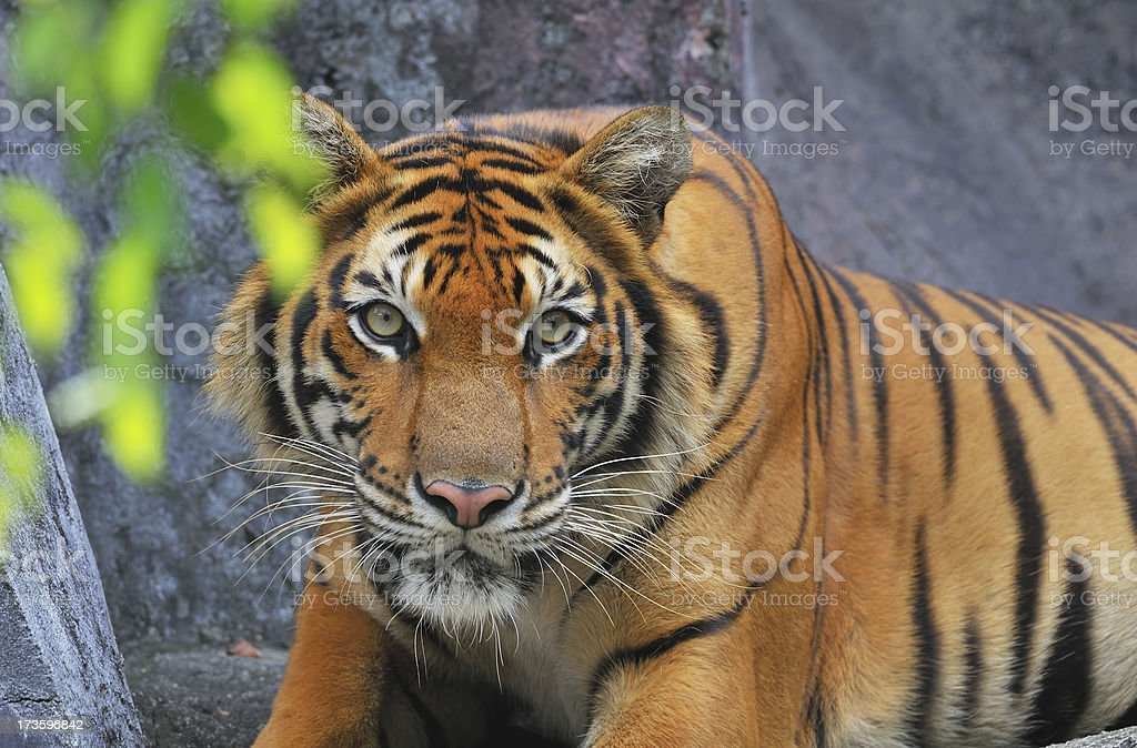 Staring adult male tiger royalty-free stock photo