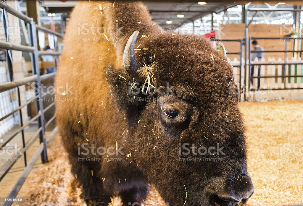 staring bison in enclosure stock photo
