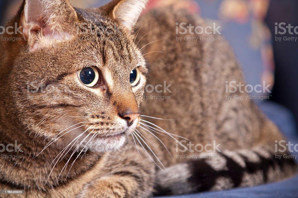 Staring Cat royalty-free stock photo