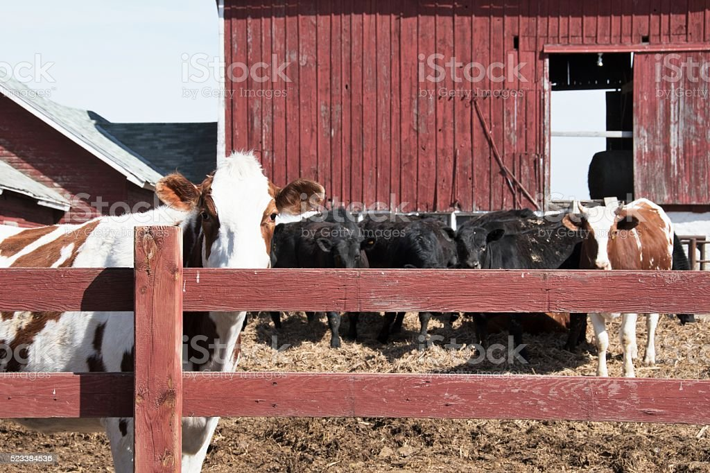 Staring Cattle stock photo