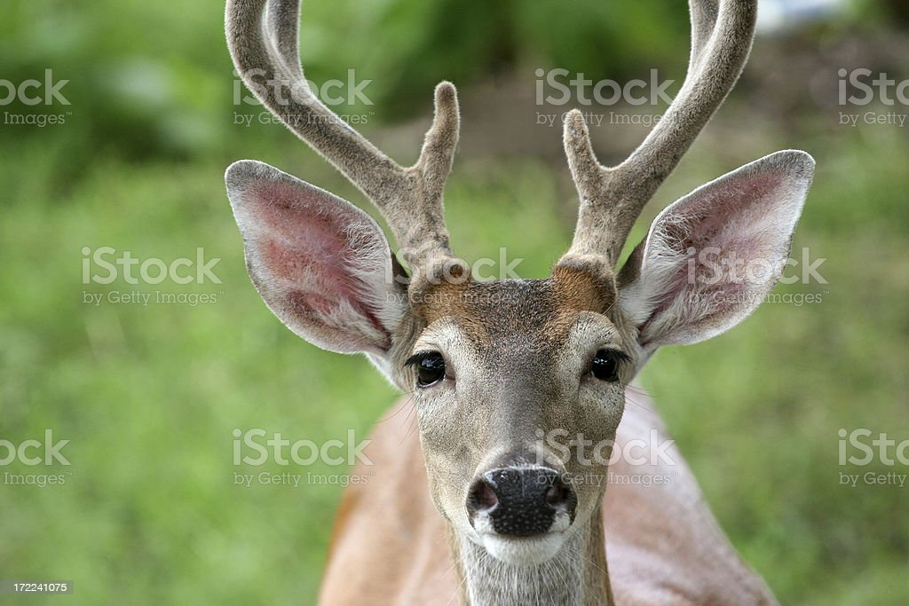 staring deer stock photo