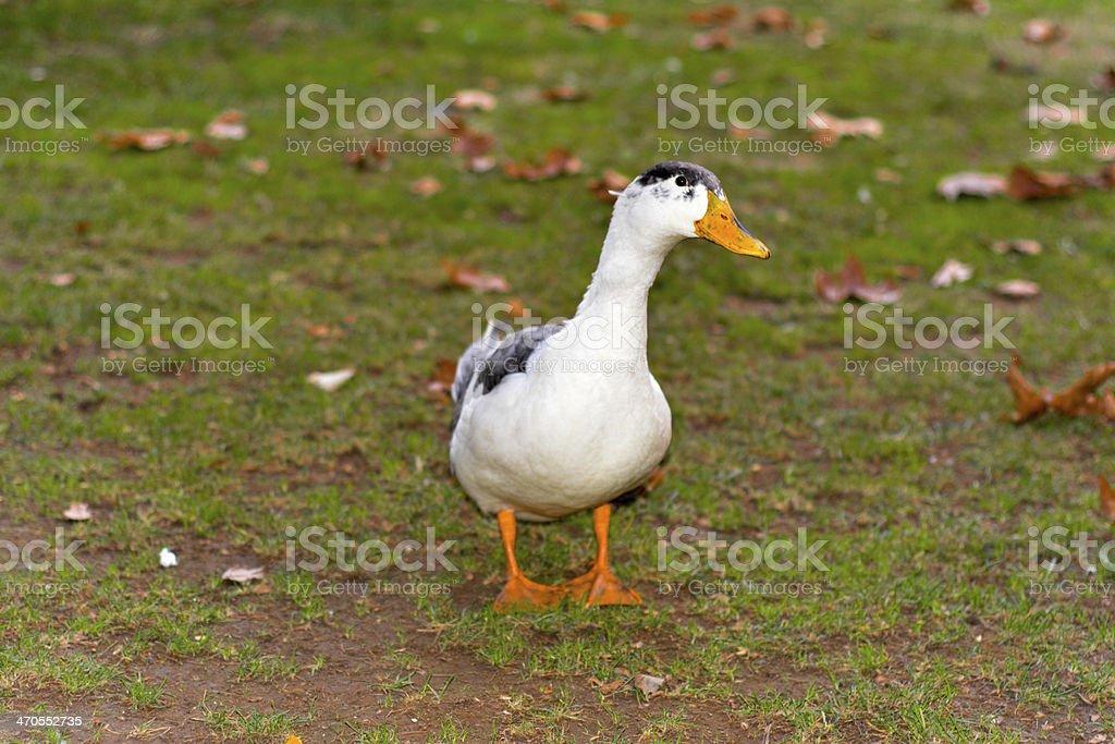 Starren duck Lizenzfreies stock-foto