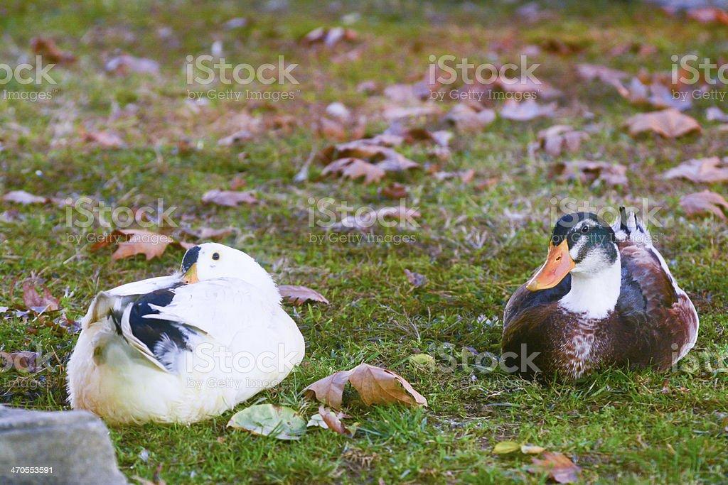 Starren ducks Lizenzfreies stock-foto