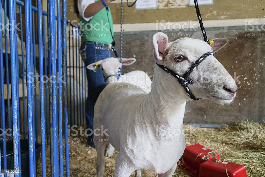 staring goat in enclosure stock photo