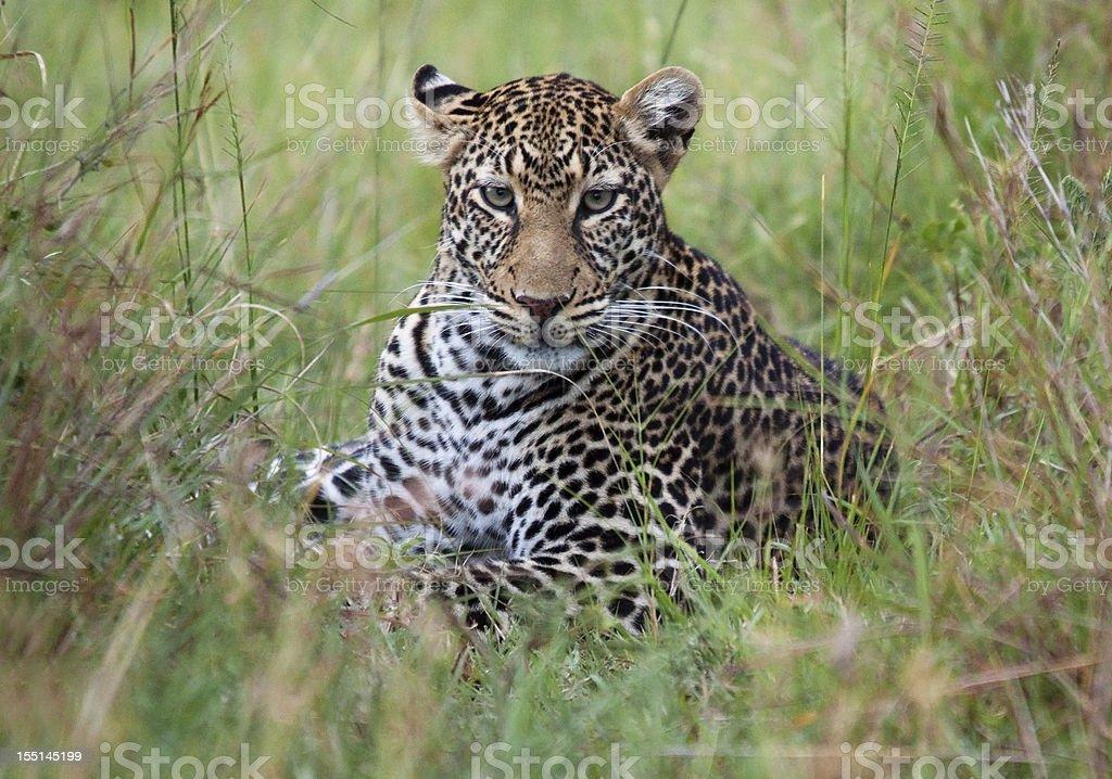 Staring Leopard stock photo