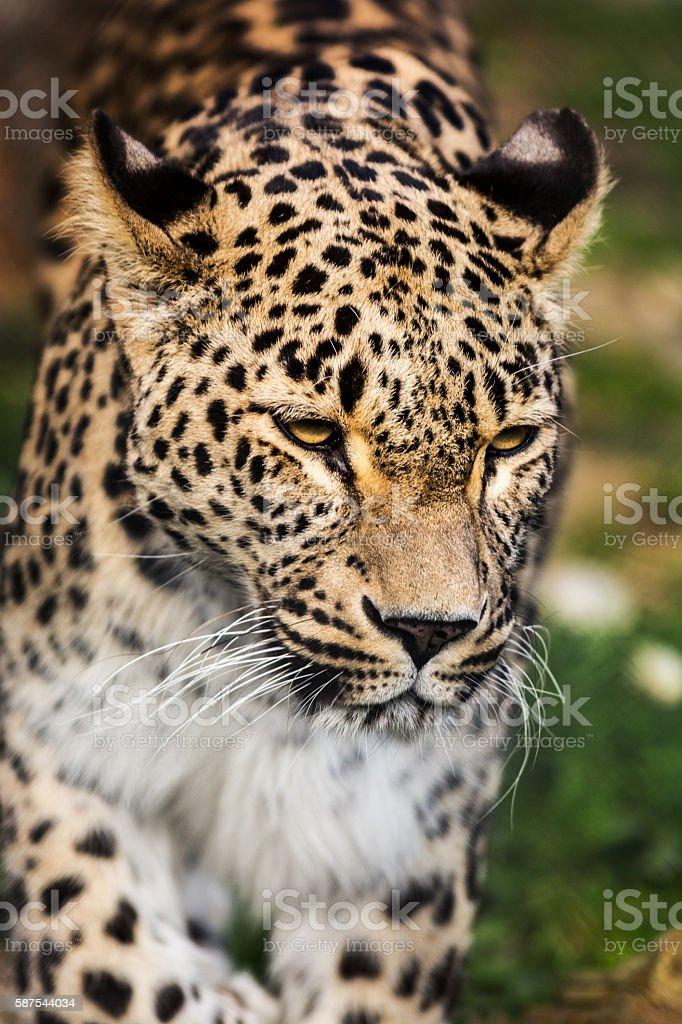 Staring leopard portrait stock photo