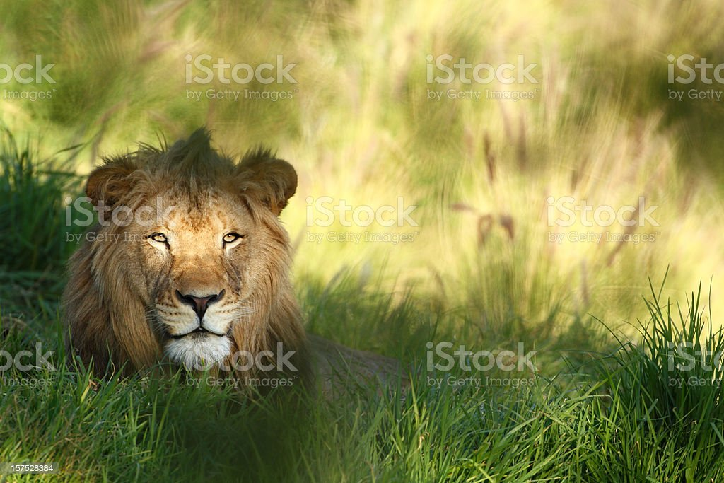 Staring lion in field of grass with copyspace. stock photo