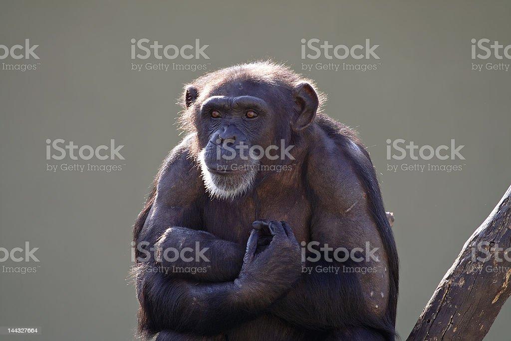 Staring monkey royalty-free stock photo