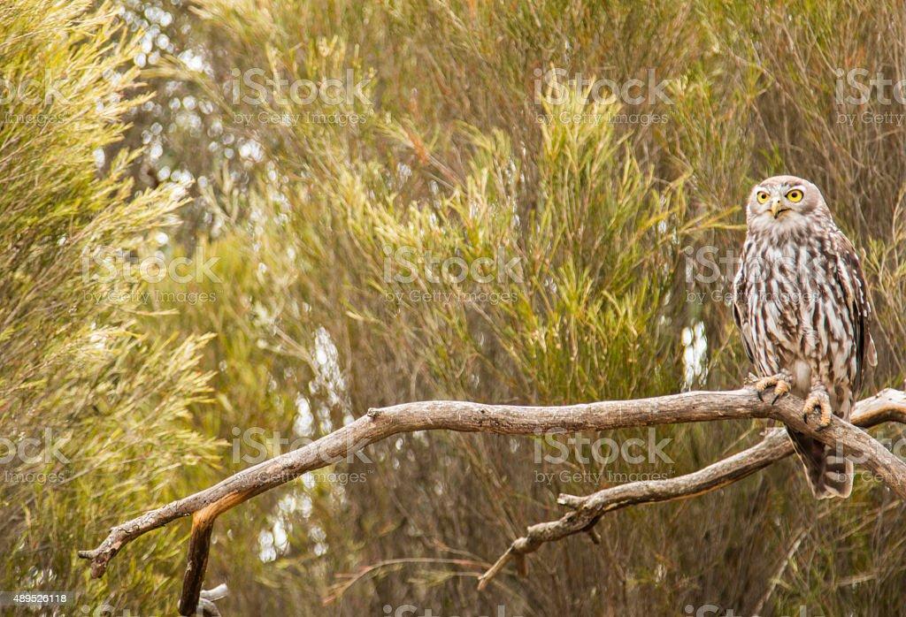 Staring Owl stock photo