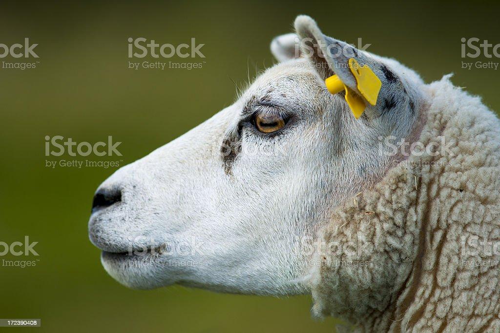Staring Sheep stock photo