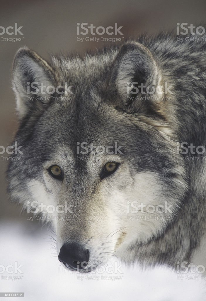 staring wolf royalty-free stock photo