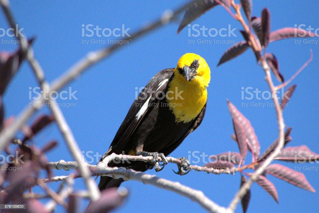 Staring Yellow-headed Blackbird stock photo