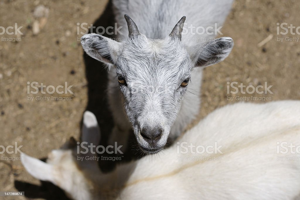 Staring young goat royalty-free stock photo