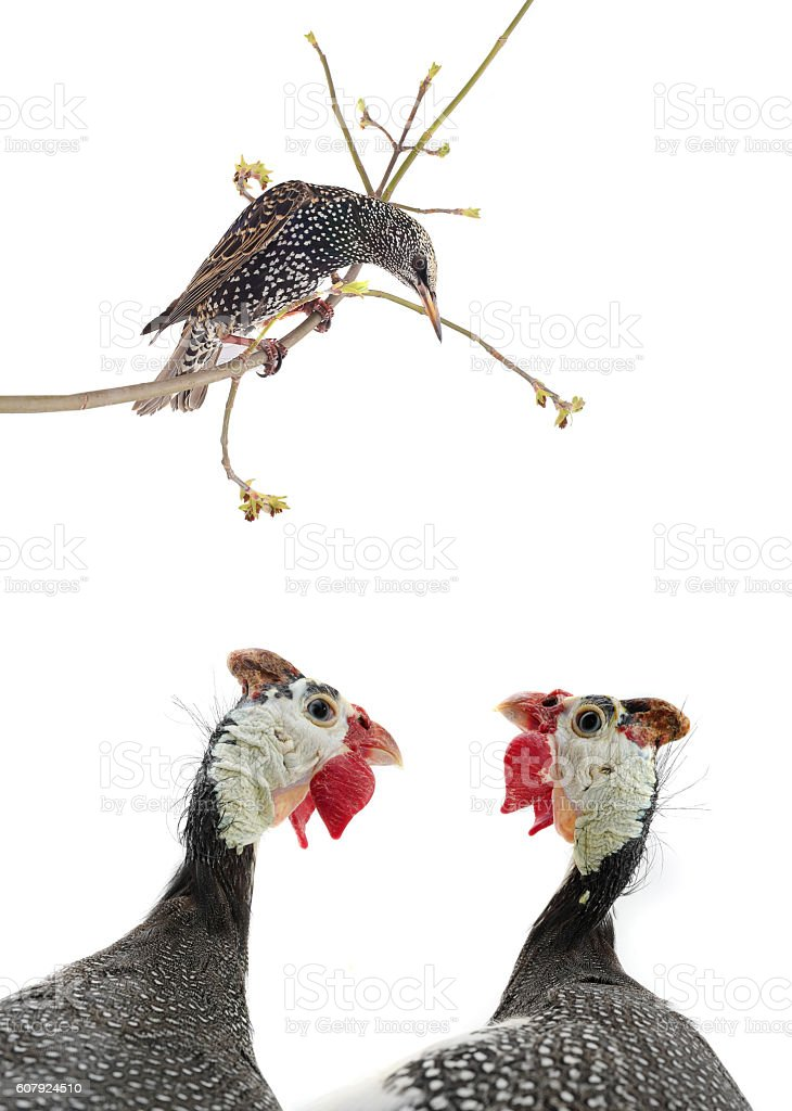 starling and two portrait Guinea fowl stock photo