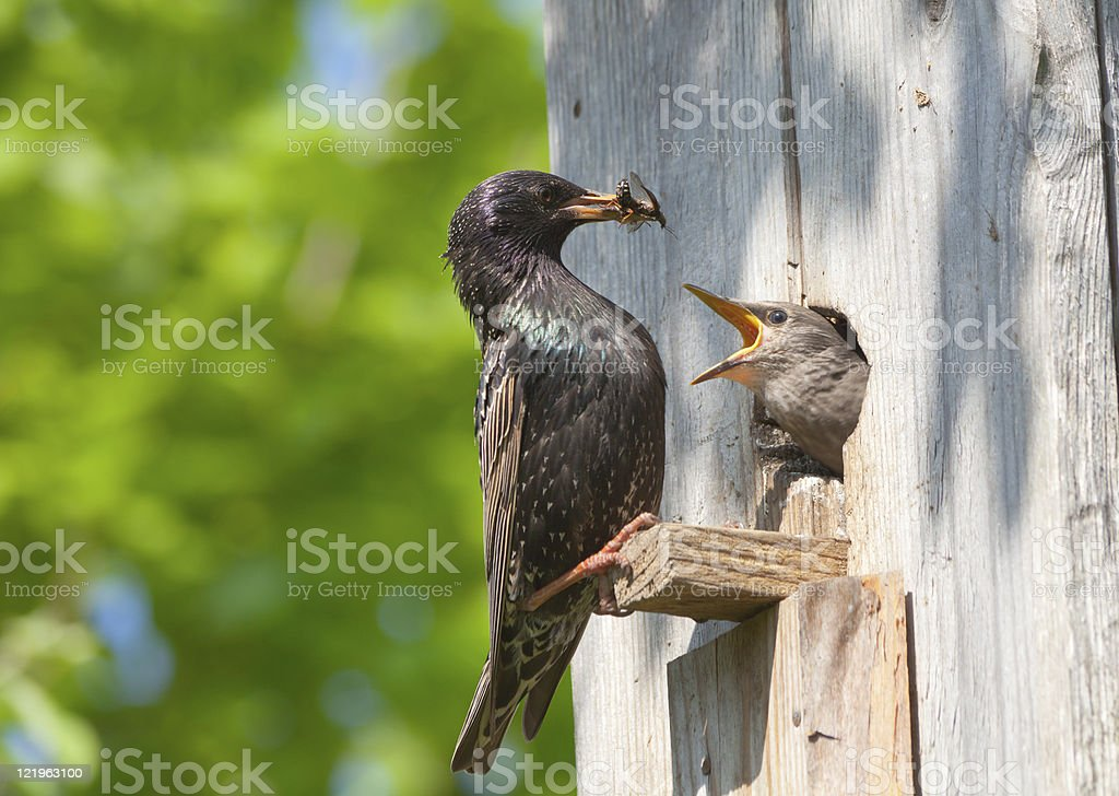 starling feed his nestling royalty-free stock photo