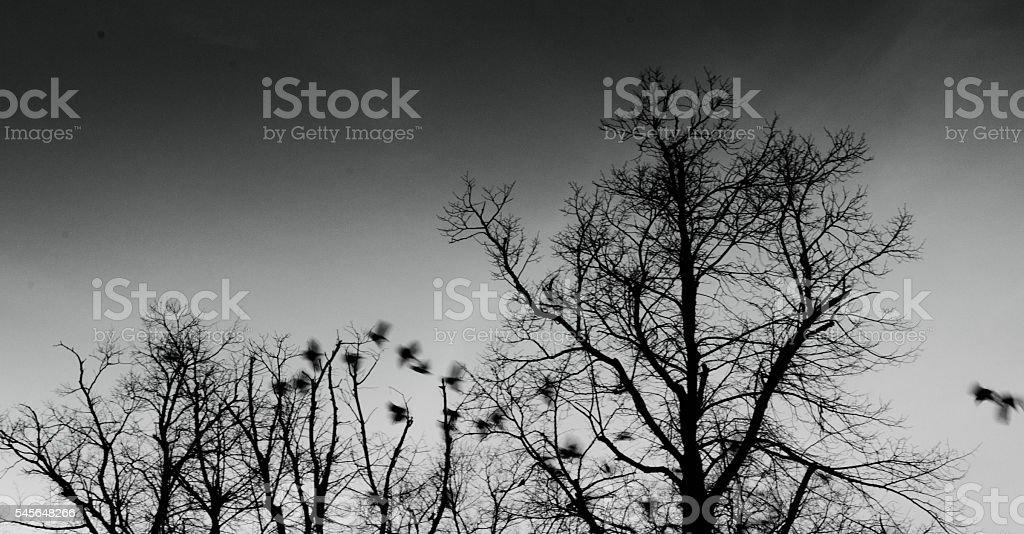 Starling flight stock photo