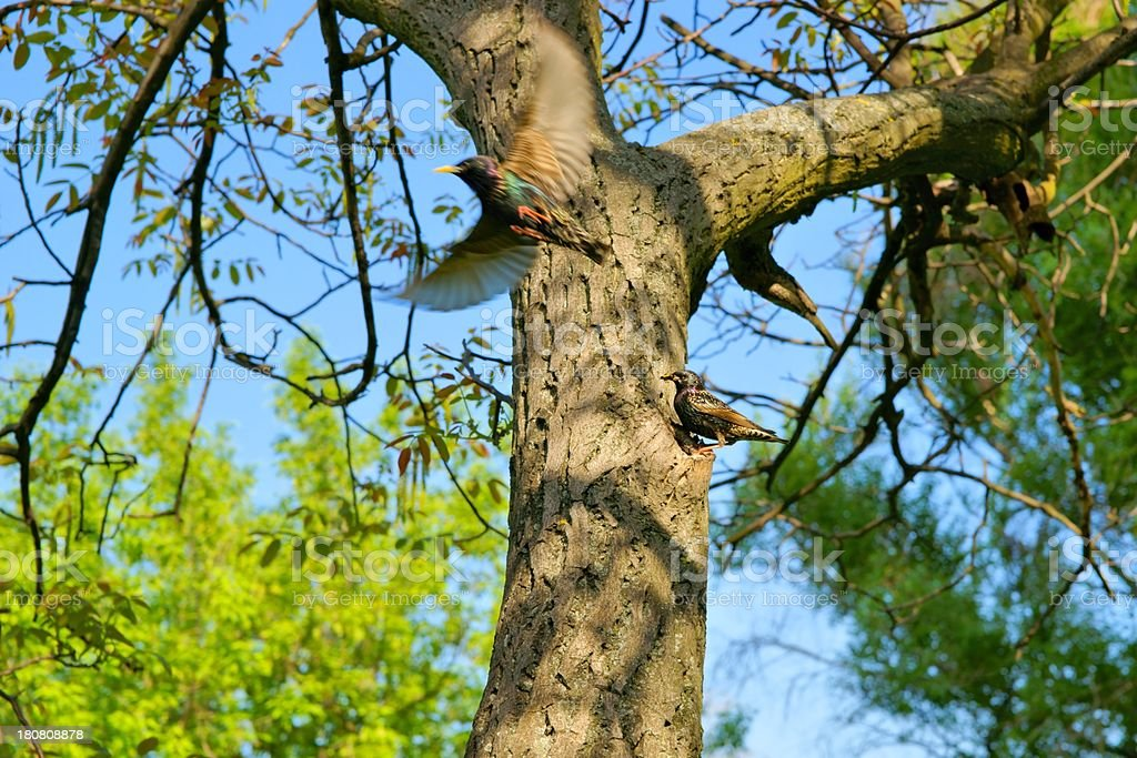 Starling, one bird enters to nest in a hollow tree royalty-free stock photo