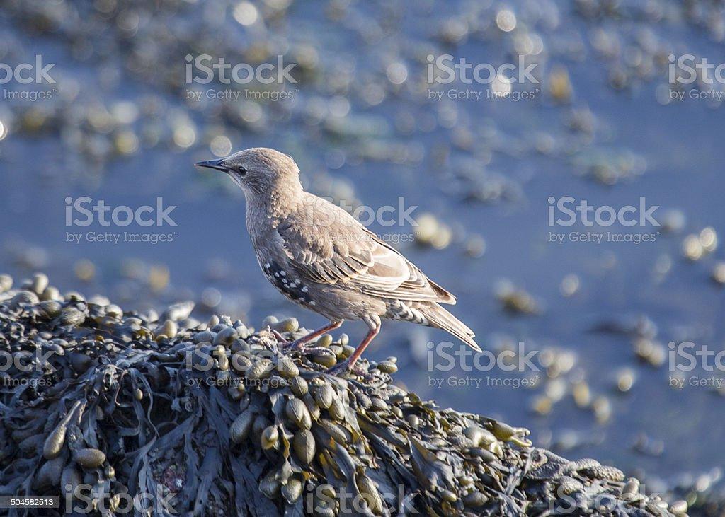 Starling (Sturnus vulgaris) stock photo