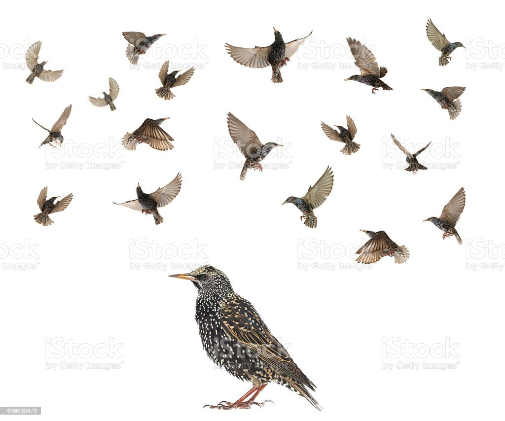 Starling stock photo