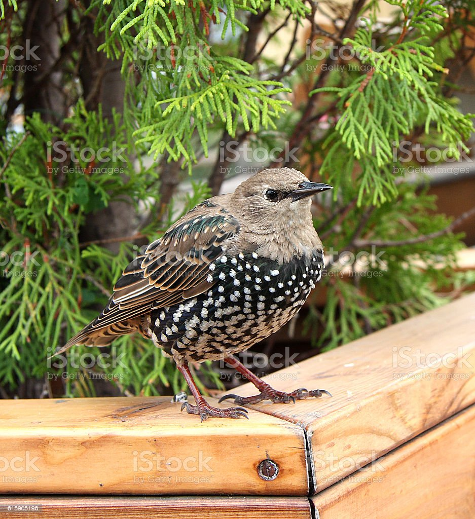Starling royalty-free stock photo