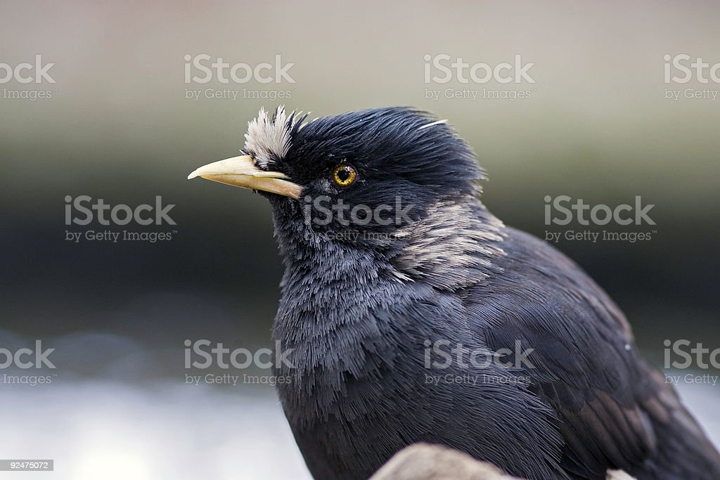 Starling royalty-free stock photo