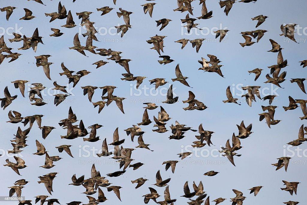 Starling, Sturnus vulgaris stock photo