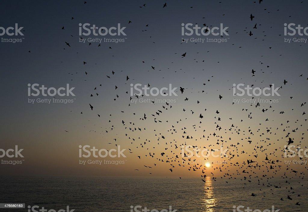 Starlings flocking at dusk stock photo