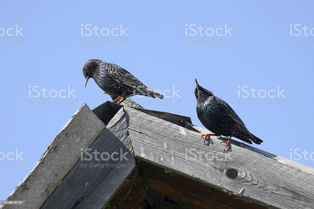 Starlings royalty-free stock photo
