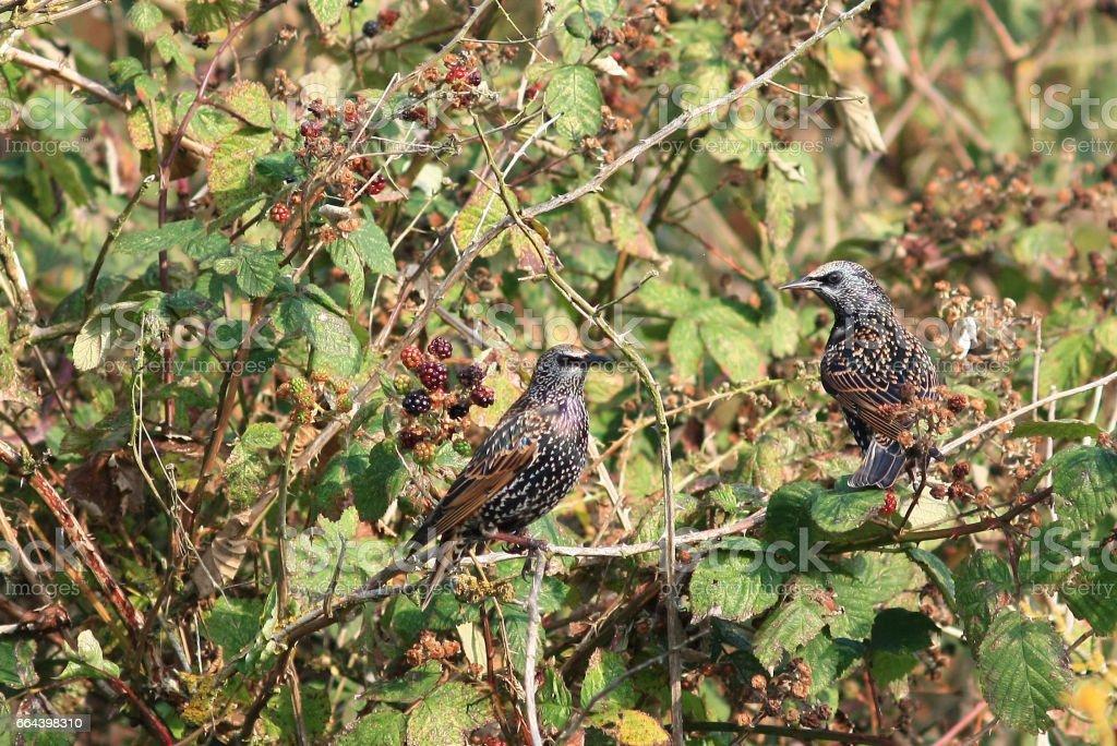 Starlings stock photo