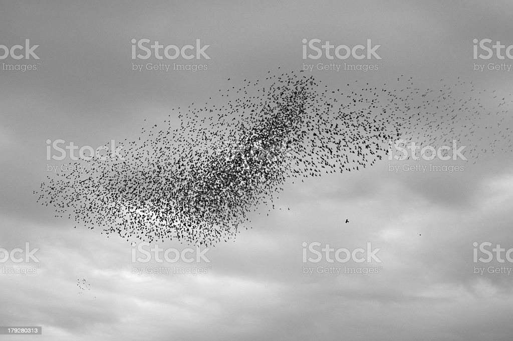 Starlings3 stock photo