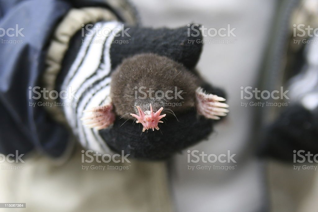 Star-Nosed Mole stock photo