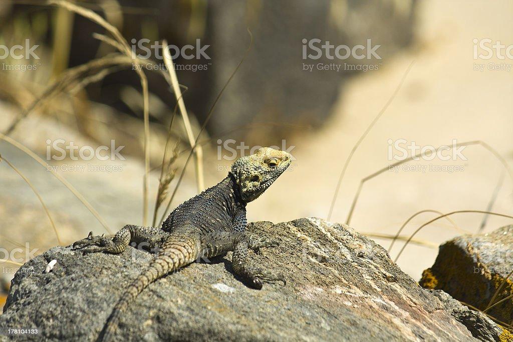 Starred Agama lizard on Delos island stock photo