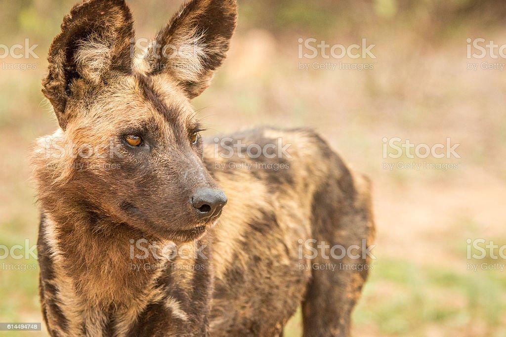 Starring African wild dog. stock photo