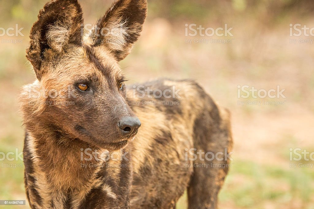 Starring African wild dog. stock photo