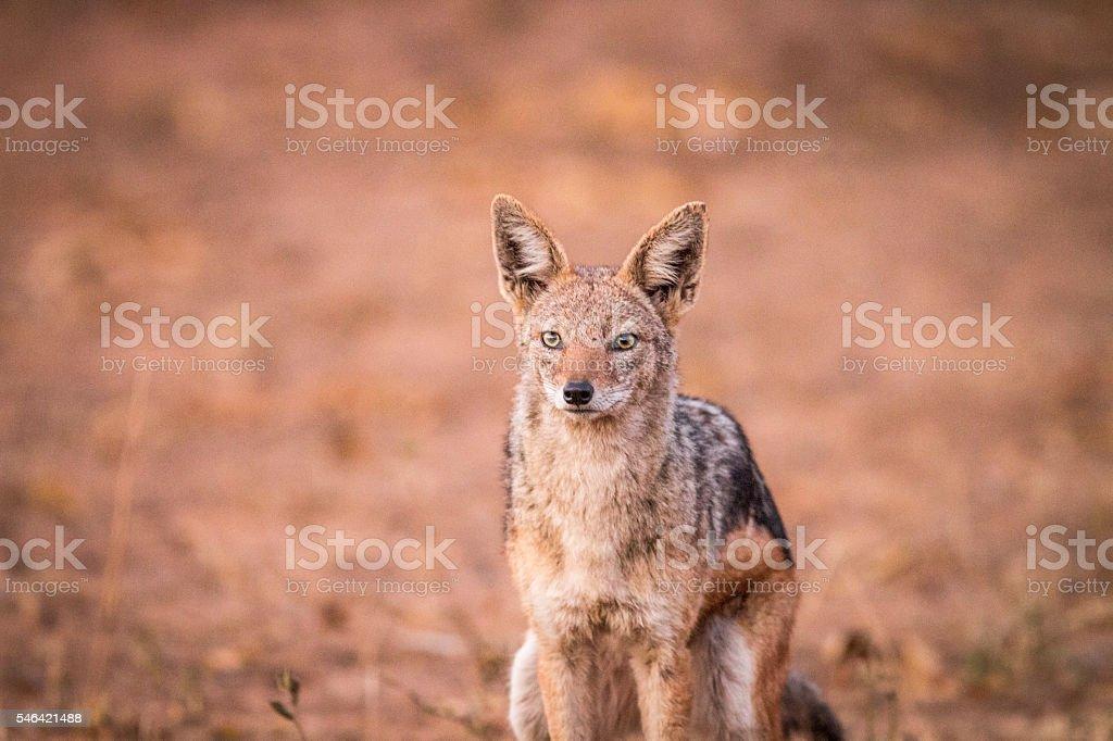 A starring Black-backed jackal. stock photo