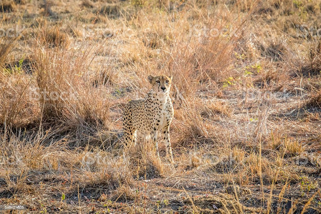 Starring Cheetah in the grass. stock photo
