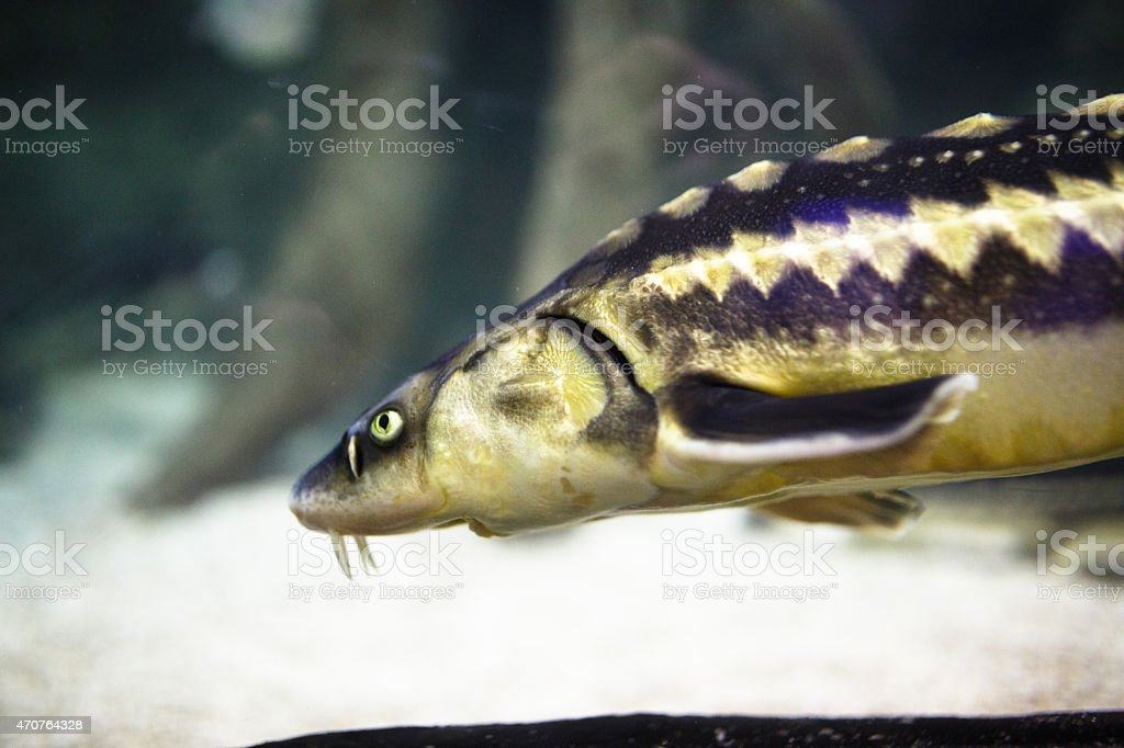 Starry sturgeon Fish stock photo