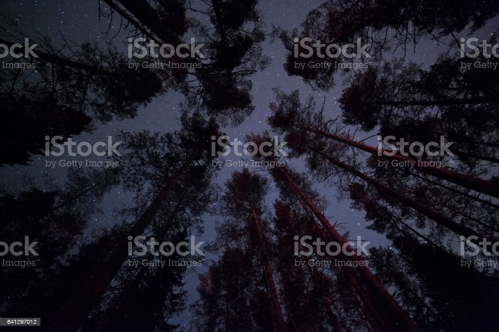 Stars above pine forest stock photo