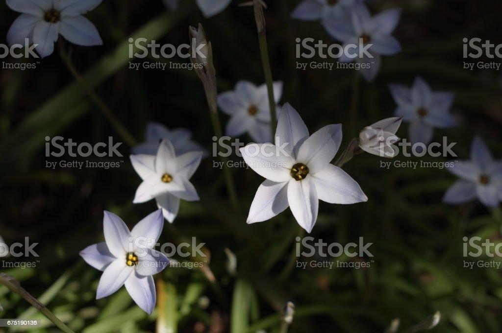 Star-shaped flower stock photo