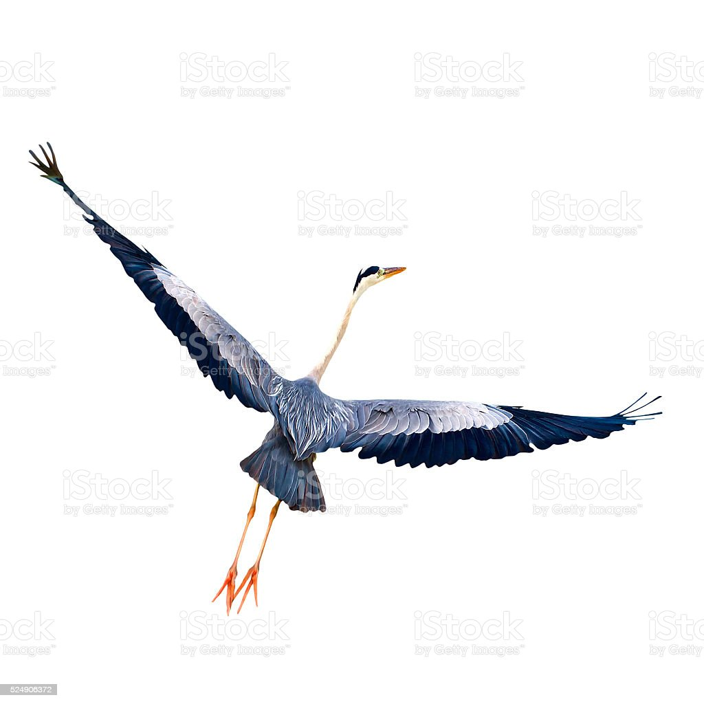 Start flight bird wings wide open isolated white background close-up stock photo