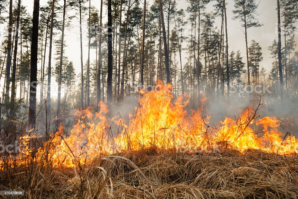 Starting of forest fire in pine stands stock photo
