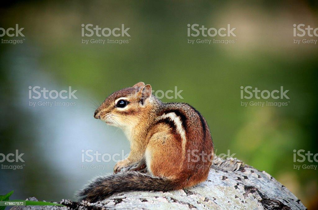 Startled Chipmunk stock photo