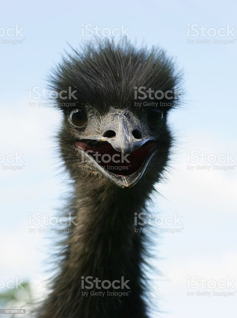 Startled Emu stock photo